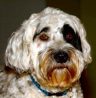 Dog, Animal, Pet, Mammal, Cute, Portuguese Water Dog