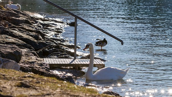 Swan, Nature, Lake, Proud To Be A Swan, Back Light