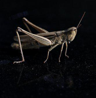 Grasshopper, Insecta, Macro, Nature, Rest
