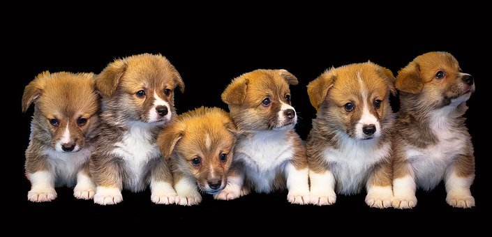 Dog, Animal, Isolated, Cute, Puppy, Pet, Small