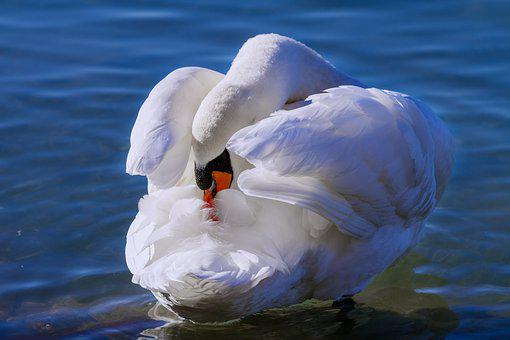 Swan, Lake, Waters, Bird, Nature, Animal, White