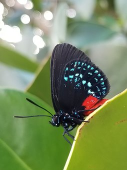 Atala Insect, Butterfly, Nature