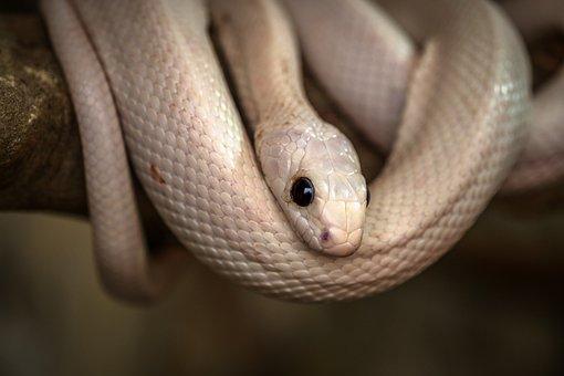 Snake, Reptile, Poison, Danger, White, Dangerous, Death