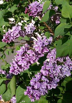 Flower, Flora, Garden, Floral, Nature, Lilac