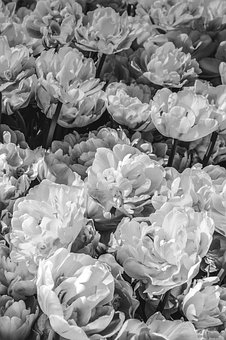 Flowers, Black And White, Peonies, Flower, Background