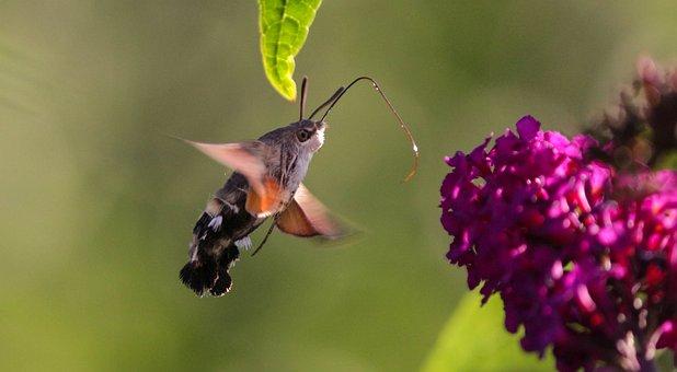 Nature, Flower, Hummingbird Hawk Moth, Summer, Insect