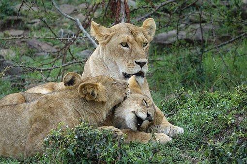 Lion, Predator, Safari, Kenya, Masai Mara Lion Cub