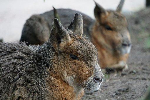 Animal, Animal World, Nature, Mammal, Fur, Pampashase