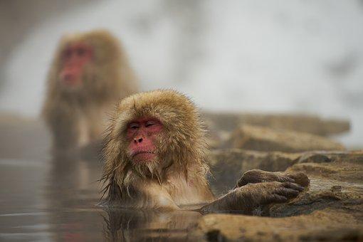 Monkey, Mammal, Wild Animals, Natural, Snow Monkey