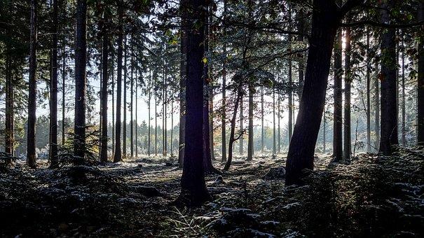 Tree, Nature, Wood, Fog, Sun, Forest, Fir Forest, Firs