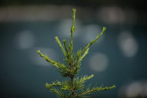 Nature, Leaf, Flora, Outdoors, Pine