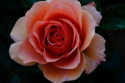 Rose, Flowers, Petal, Flowering, Plant, Plants, Pink