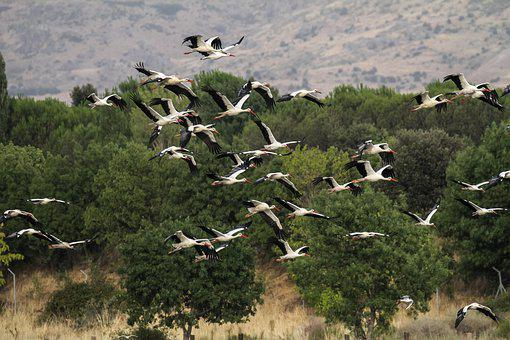 Spain, Madrid, Manzanares, Storks, Migrating