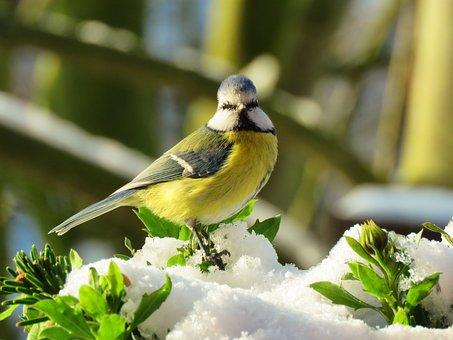 Blue Tit, Bird, Tit, Plumage, Winter, Songbird, Nature