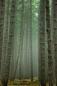 Tree, Wood, Nature, Background, Tribe, Pine, Large