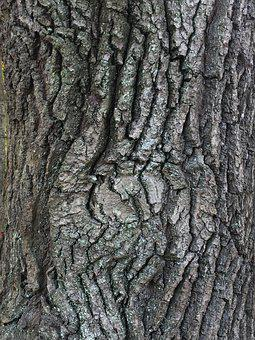 Tree, Wood, Bark, Oak, Nature