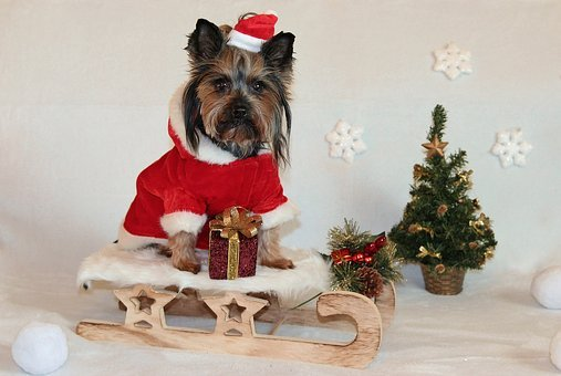 Yorkshire Terrier, Dog, Christmas, Sled, Santa Claus