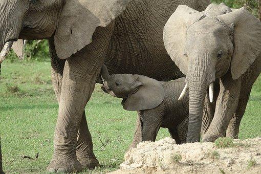 Elephant, Wildlife, Trunk, Mammal, Nature