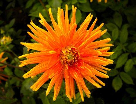 Flower, Nature, Plant, Summer, Garden, Dahlia, Orange