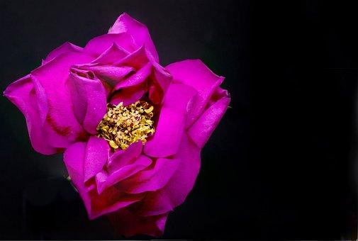 Flower, Nature, Flora, Color, Rose, Pink, Macro