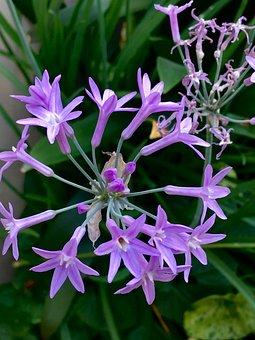 Small Flowers, Petals Lilac, Flower, Petals, Lilac
