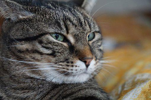 Cat, Animal, Mammal, Portrait, Pet, Nature, Fur, Cute