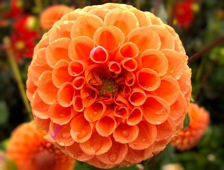 Nature, Garden, Color, Plant, Summer, Dahlia, Orange