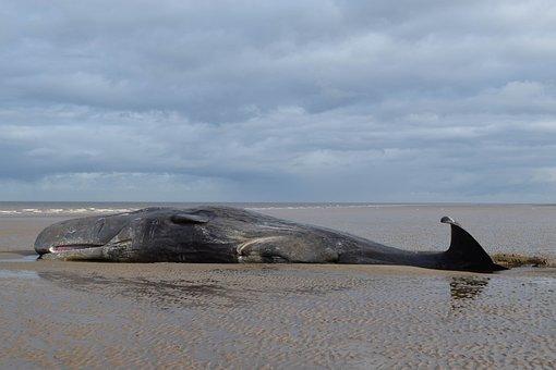 Water, Sea, Ocean, Beach, Whale