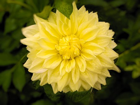 Nature, Flower, Plant, Summer, Dahlia Lemon Yellow