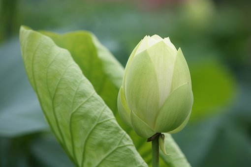 Leaf, Nature, Plants, Flowers, Lotus Leaf, Lotus