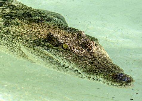 Alligator, Reptile, Predator, Animal, Nature, Dangerous