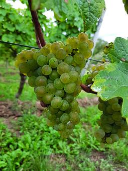Wine, Fruit, Nature, Leaf, Grape, Vine, Ripe Grapes