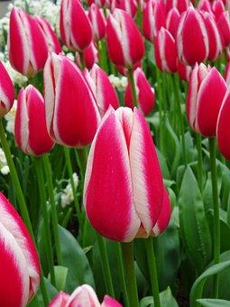 Tulip, Nature, Flower, Garden, Flora, Season, Summer