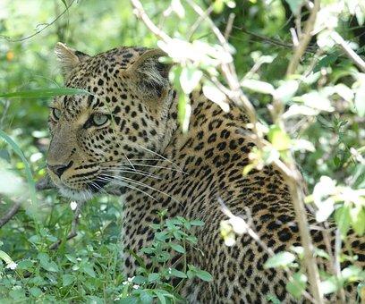 Wildlife, Cat, Nature, Carnivore, Leopard, Animal