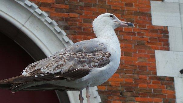 Bird, Outdoor, Nature, Seagull In Venice