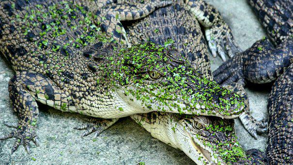 Reptile, Nature, Wildlife, Animal, Snake, Crocodile