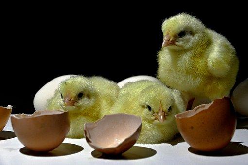 Kuriatka, Poultry, Home, Emergence, Animal, Cute, Theme