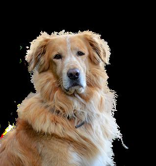 Golden Retriever, Isolated, Dog, Hundeportrait, Pet