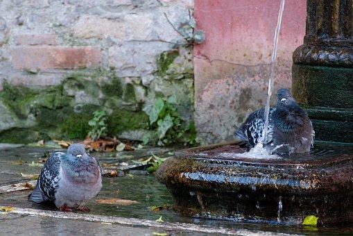 Fountain, Wet, Bird, Animal, Dove, Venice