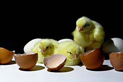 Kuriatka, Emergence, Poultry, Home, Animal, View