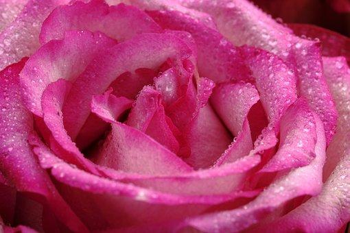 Flower, Blossom, Bloom, Rose, Rose Bloom, Pink, Love