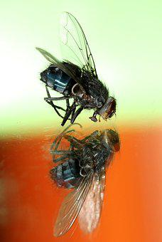 Fly, Insecta, Wet, Macro, Reflection