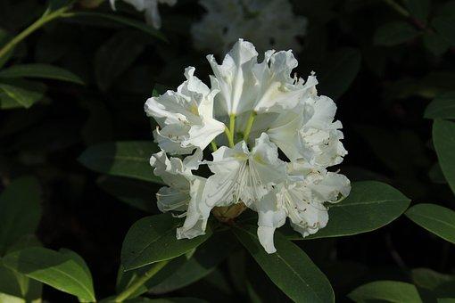 Flower, Flora, Nature, Leaf, Garden, Rhododendron