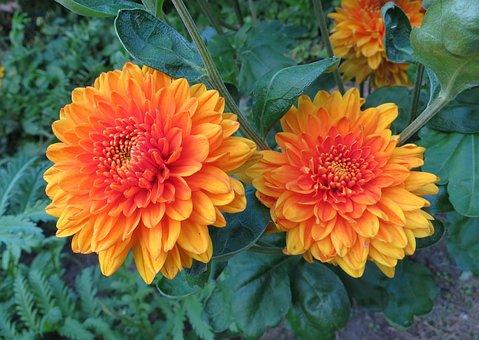 Flower, Garden, Dahlia, Yellow, Summer