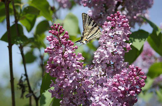 Flower, Flora, Tree, Nature, Leaf, Butterfly, Lilac