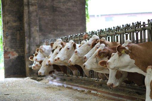 Animals, Mammal, Cattle, Farm, Agriculture, Barn