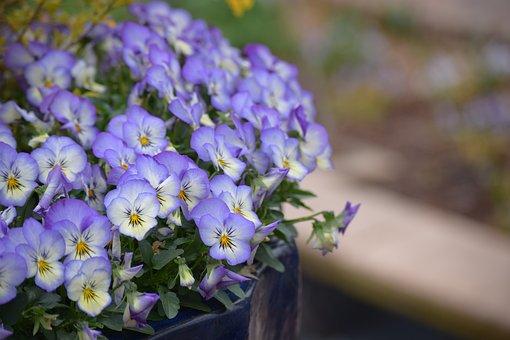Flower, Flora, Nature, Lilac, Garden