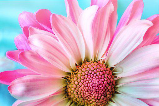 Flower, Nature, Flora, Petal, Summer, Daisy, Pink