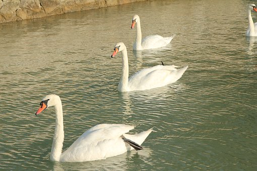 Swans, Lake, Water Bird, Pond, A White Swan
