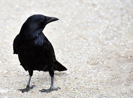 Common Raven, Raven, Raven Bird, Crow, Animal, Nature